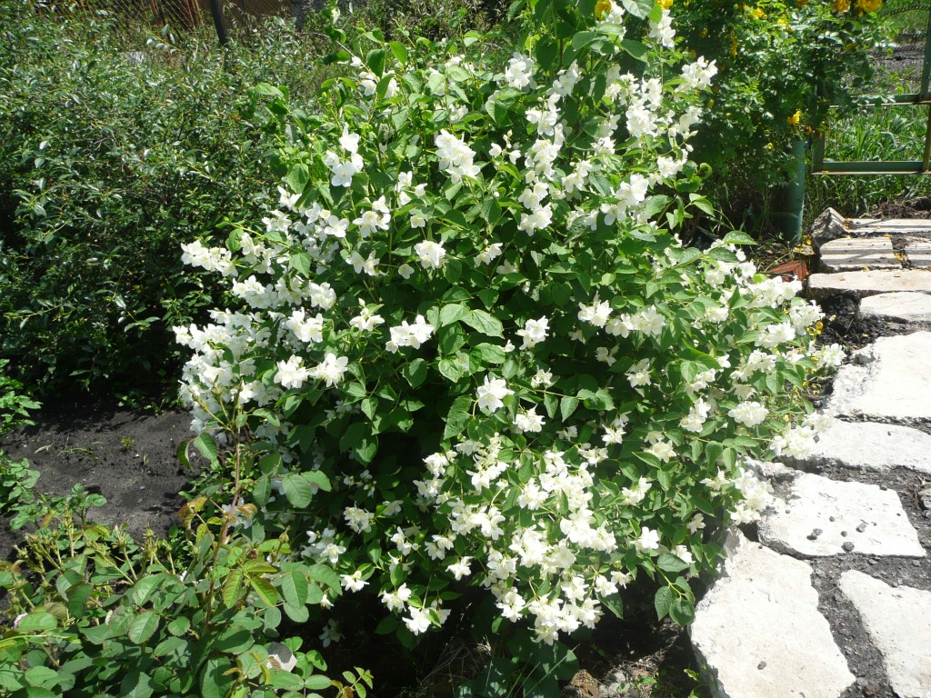 Ornamental shrubs Chubushnik - features of growing and care (photos and video)
